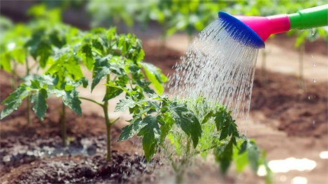 После посадки томатам нужен полив