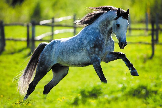 """Лошадь серой масти часто с """"яблоками"""""""