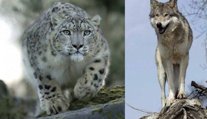 Снежные барсы и волки охотятся на сибирских горных козлов