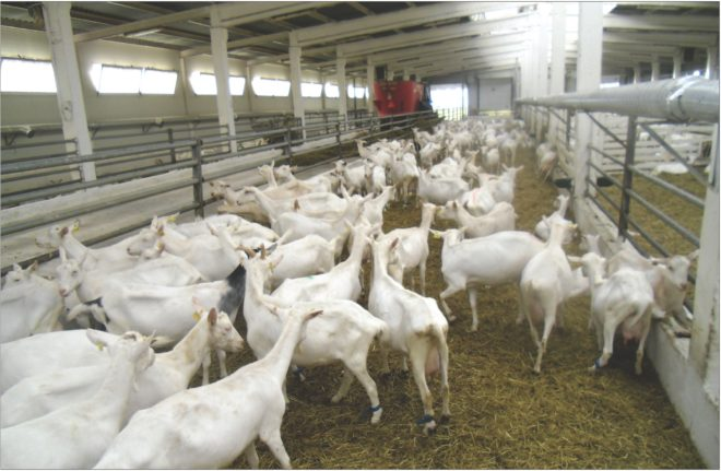Многие хозяйства начинают разводить коз