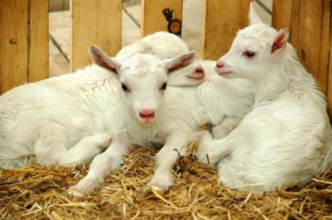 За один окот у козы может появится 2 или 3 козленка