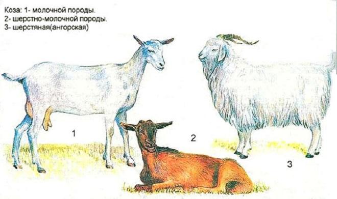 Одна из составляющих цены на козу - порода