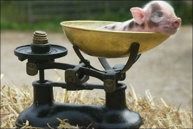 Измерение свинки при помощи весов