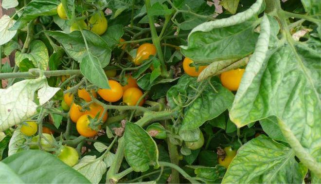 Листья закручены у некоторых сортов томатов