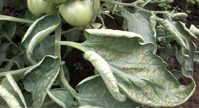 Заболевания томатов вызывают скрученность листьев томата