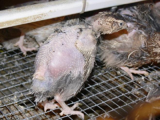При несоблюдении условий содержания птица лысеет
