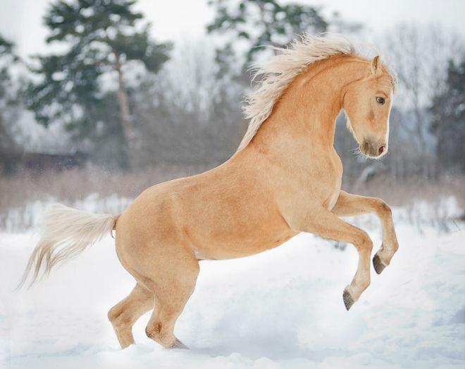 Лошадь соловой масти выглядит эффектно