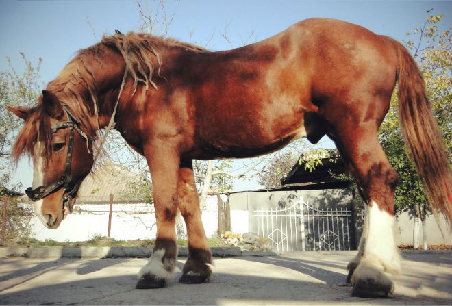 Советский тяжеловоз - тяжелоупряжная порода лошадей