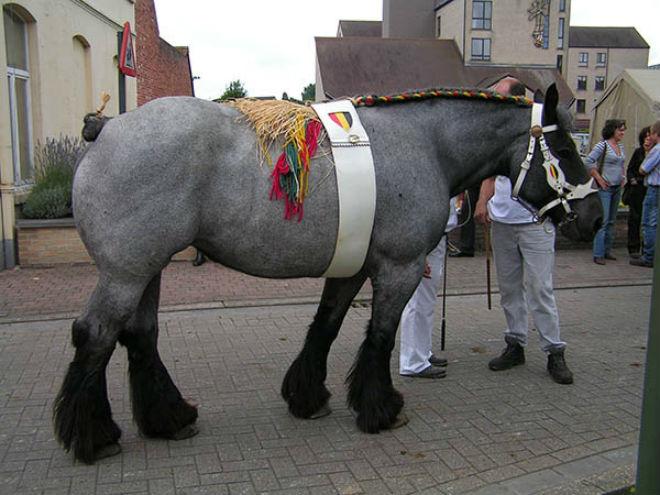 Бельгийская тяжеловозная лошадь брабансон (или брабант)