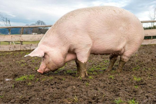 Основные признаки охоты у свинок видны сразу