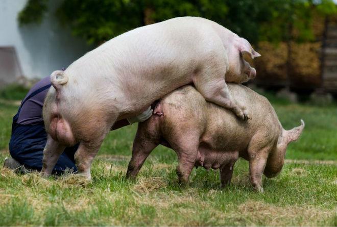 Спаривание животных должно быть в комфортных условиях