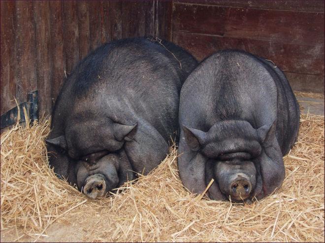 Процесс подготовки и случки вьетнамских вислобрюхих свинок
