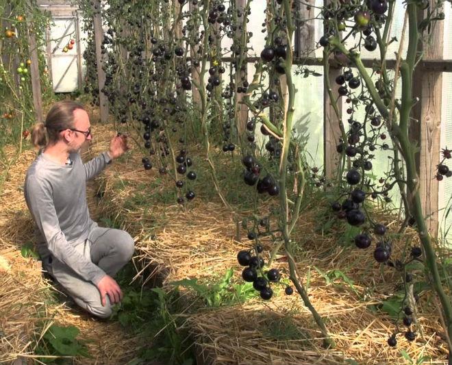 Томат Черная гроздь хорошо растёт в теплицах