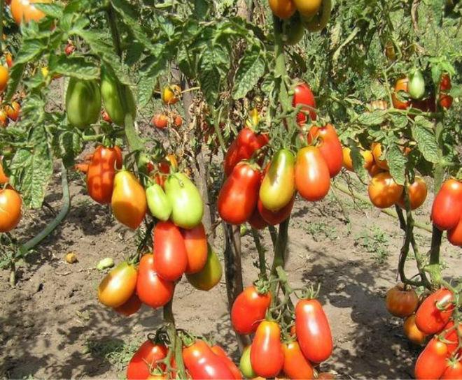 Перцевидные томаты урожайны и им нужна опора