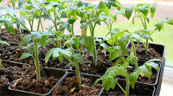 Рассада помидор, сорт Петруша-огородник