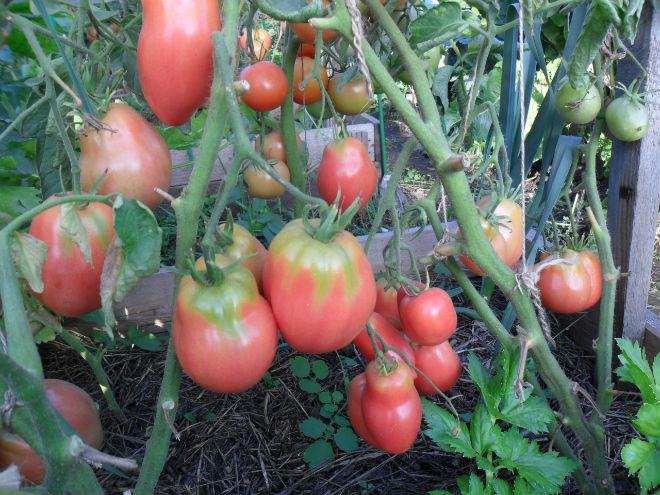 Обилие плодов томата Петруша-огородник