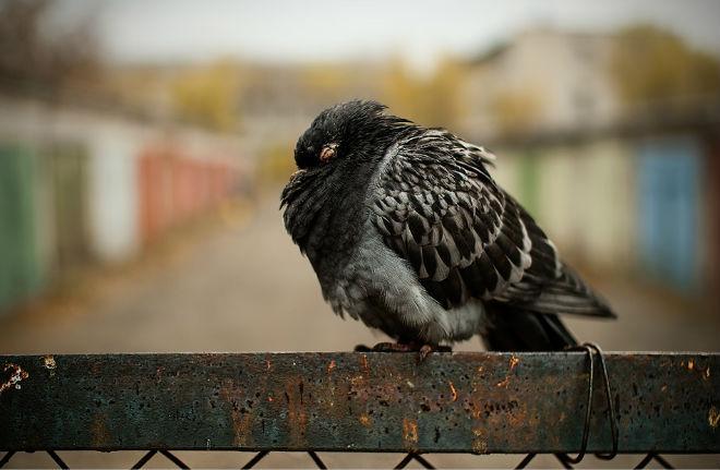 Вид голубя, заболевшего вертячкой