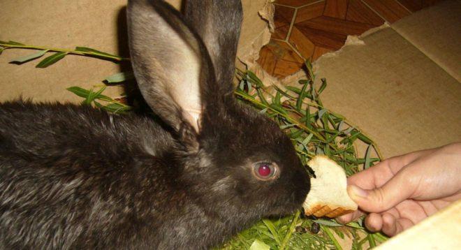 Белый хлеб и сдобу кроликам давать нельзя