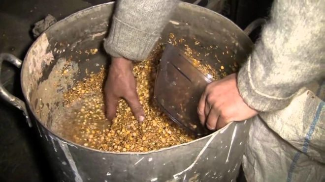Сухое или замоченное зерно - идеальный корм для кроликов, по мнению Золотухина