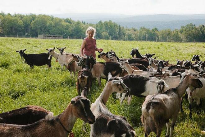 Альпийские козы могут быть различных цветов и оттенков