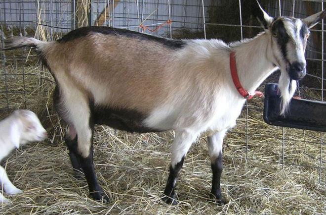 Для козы альпийской породы достаточно 3-4 кв. м площади
