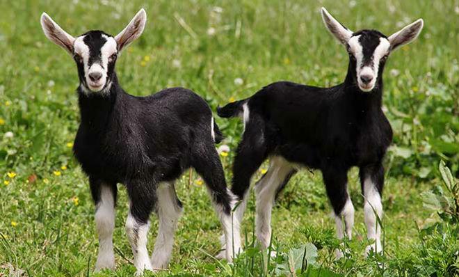 Покупать альпийских коз необходимо у известных заводчиков