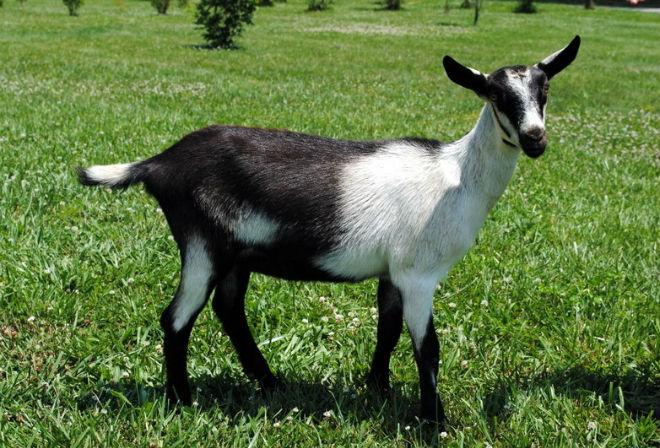 Альпийская порода коз выведена ещё в начале 19 века