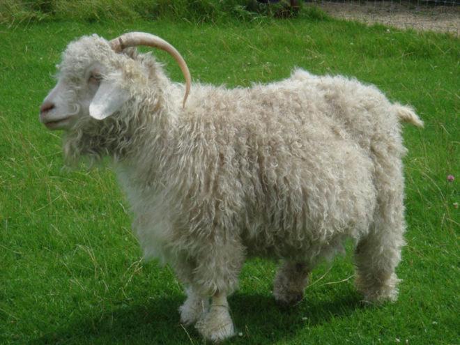 Советская шерстная порода