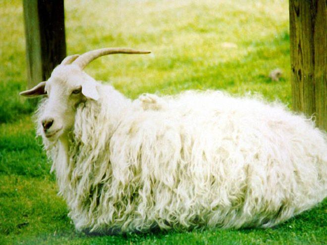 Красивые козы породы оренбургские