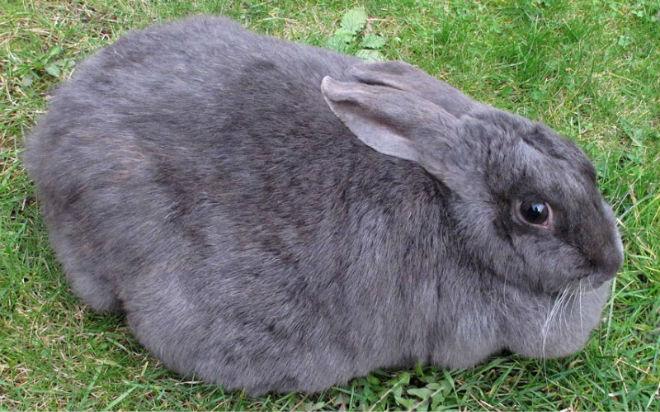 У кроликов малая длительность беременности