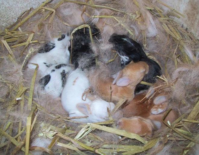 Обычно у крольчихи бывает 5-8 крольчат за помёт.