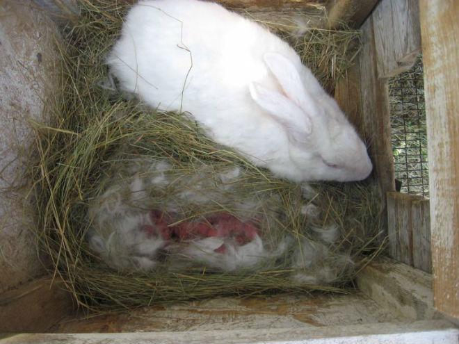 Окрол крольчихи длиться до часа, иногдазанимает 20 минут