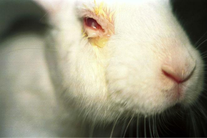 При конъюнктивитеу кроликов увеличивается слезотечение
