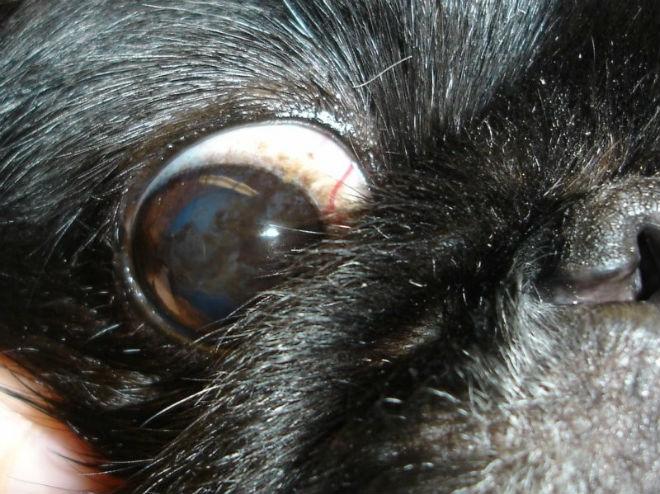 Воспаление прозрачной глазной оболочки у кролей - это кератит