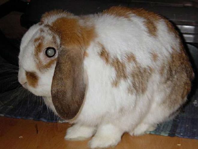 Катаракта кроликов относится к врождённым болезням