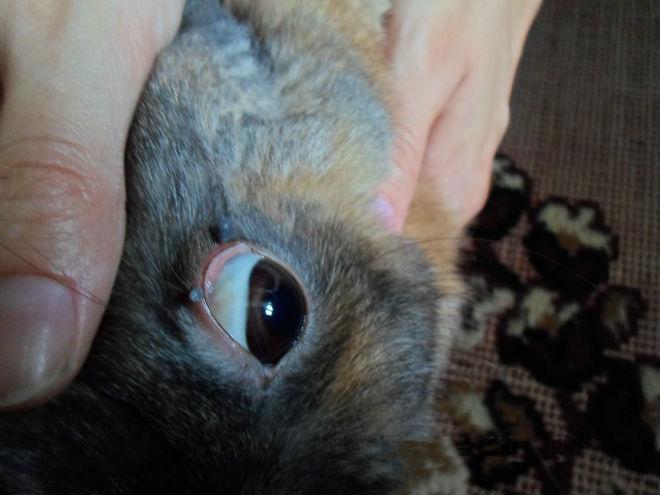 Патология век кроликов приводит к их заболеванию