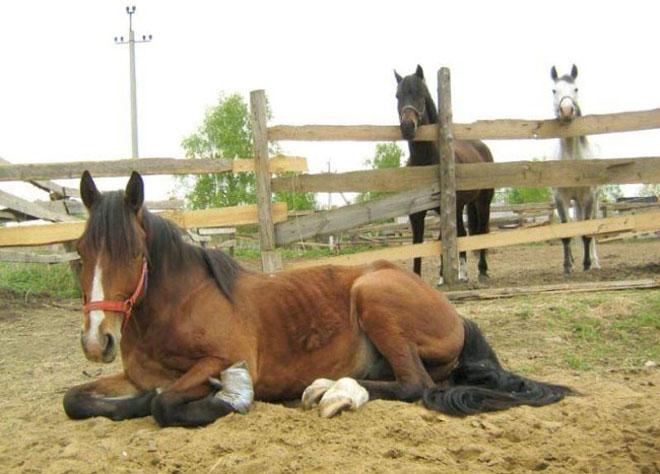 Болезни опорно-двигательного аппарата часты у лошадей