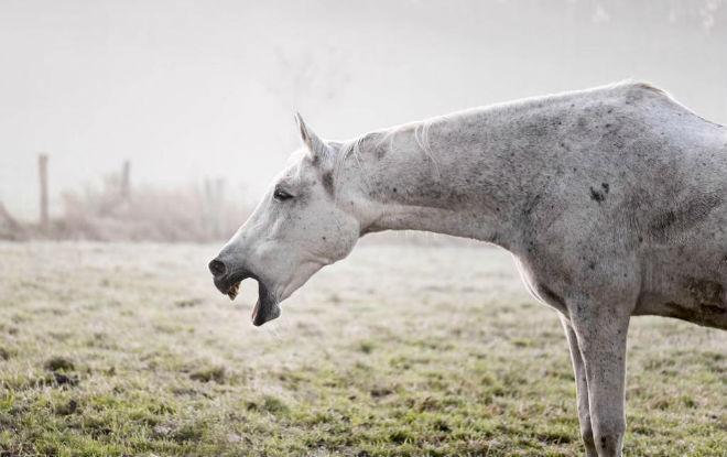 Все лошадиные тоже могут болеть гриппом.