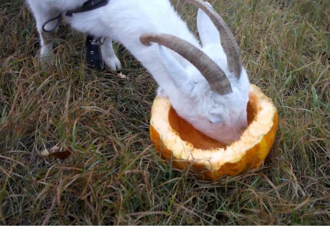 Сочные корма - основа рациона коз летом