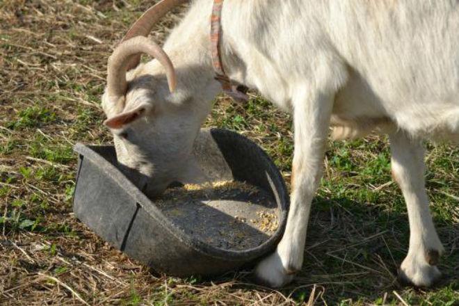 Комбикормами дополняют питание коз