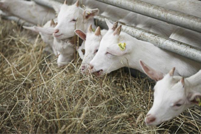 Зимой основным питанием коз является сено
