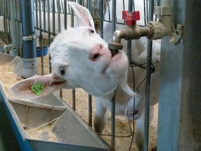 Козам нужна чистая и свежая питьевая вода