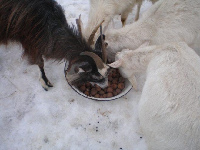 Сочные корма в зимнем рационе домашних коз