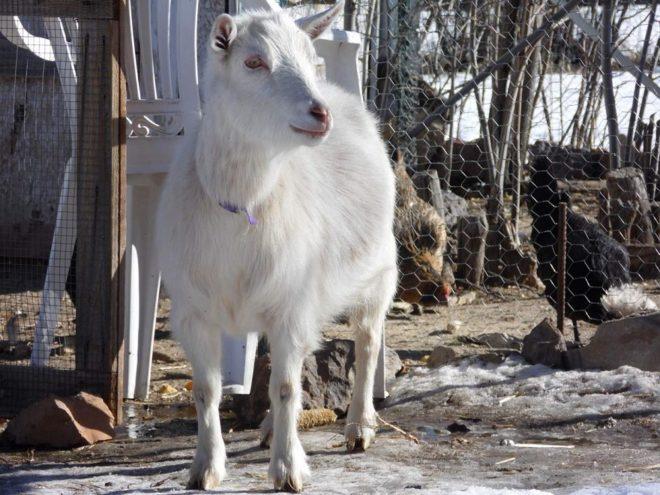 Содержание коз в загоне