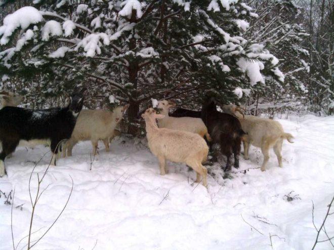 Зимой в рацион коз добавляют ветви деревьев