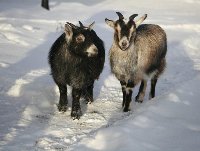 Кормление коз в холодный период года