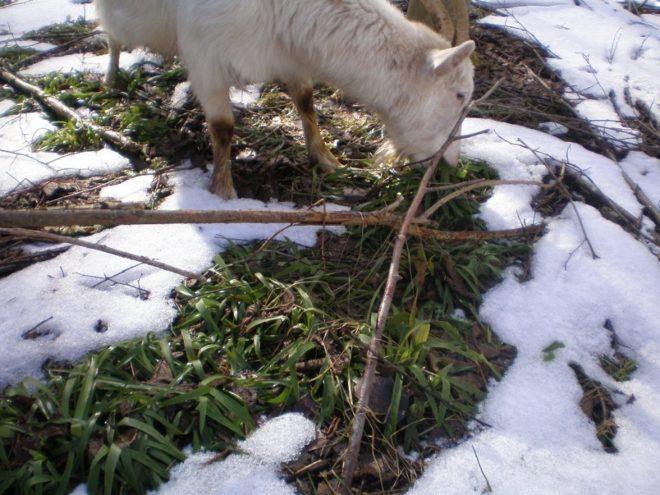 Зимний выпас домашних коз