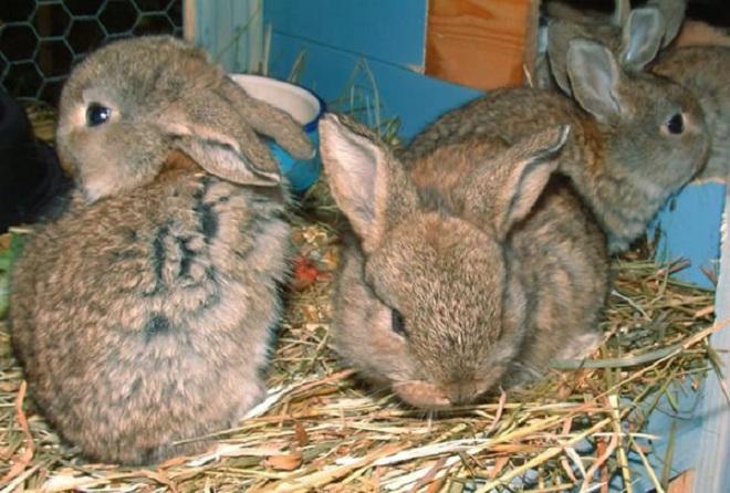 Лучшим питанием после отселения кроликов от мамы являются сено и морковь