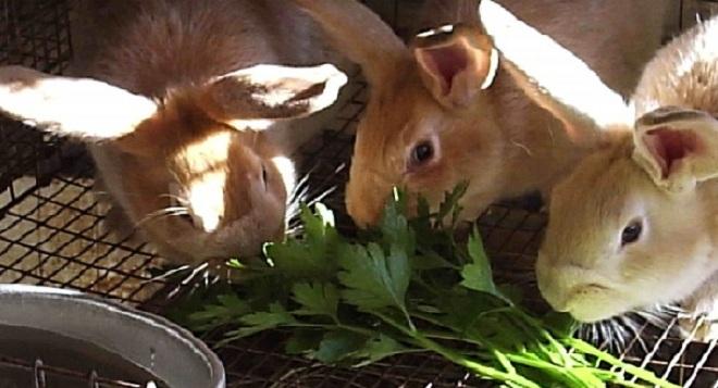 Петрушка в рационе кроликов способствует набору веса