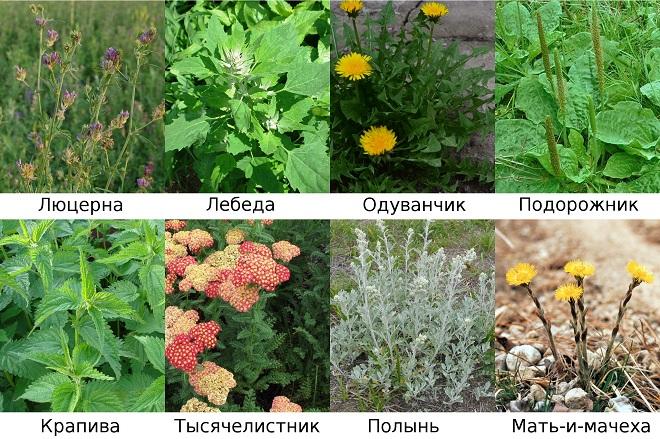 Многие растения обладают оздоровительным эффектом